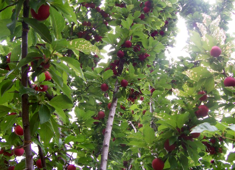 Plum_tree_with_fruit