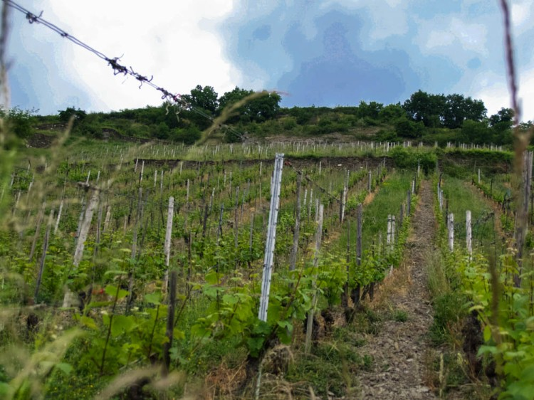 Vineyards--plunging down to the Rhine, almost impossible steep. Here, Riesling and Scheurebe....