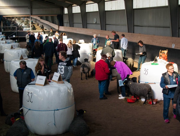Before the start of the ram auction--potential buyers have the chance to examine the sheep and talk to the shepherds.