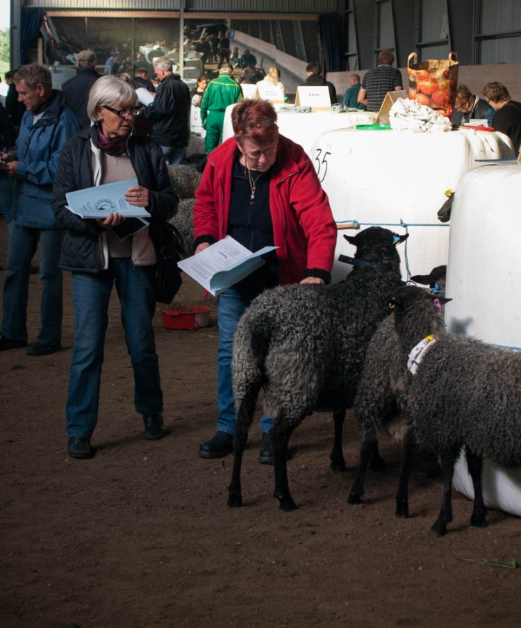 The sheep are ranked in multiple categories (weight, color, wool luster, curl depth, etc.), and the results are printed in a booklet handed out to all buyers. The scores are consulted and the animals carefully examined before the bidding begins.