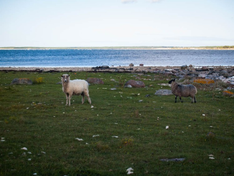 The sheep graze right down to the edge of the Baltic Sea.