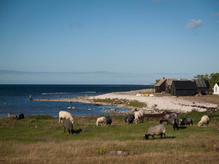 Gotland sheep grazing near a fishing village on Fårö, a tiny island off the northern coast of Gotland.
